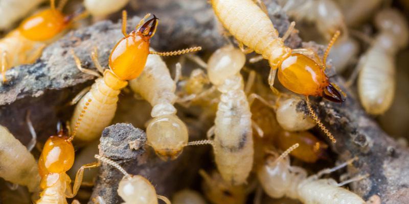 Frisco Termites